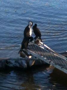 janet cormorants