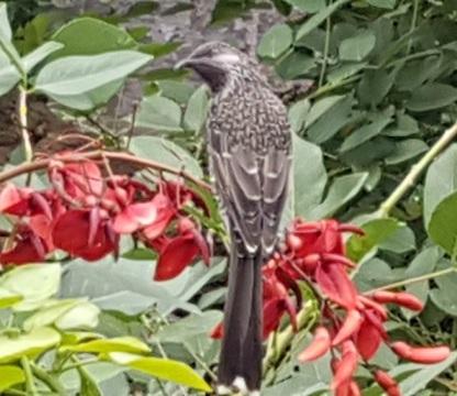 wattlebird March 2019